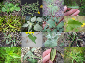 New Paper: Evolution of Leaf Economics across Wild Sunflowers