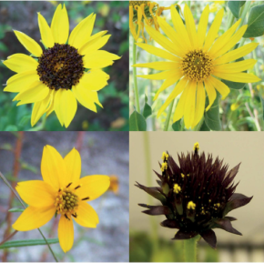 New Paper: Evolution of Sunflower Floral Architecture with Environment