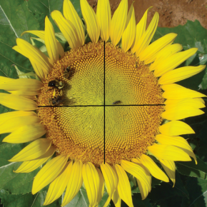 New Paper: Genetic Architecture of Floral Traits in Crop Sunflower